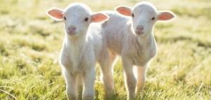 sheepstudslider_twins