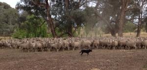 livestockslider_kelpie1