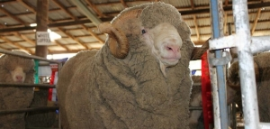 sheepstudslider_ram